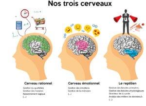 Notre cerveau est composé de 3 parties distinctes: le cerveau rationnel, le cerveau émotionnel et le reptilien.